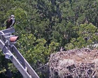 Live Osprey Nest Webcam, Skidaway Island, Savannah, GA.