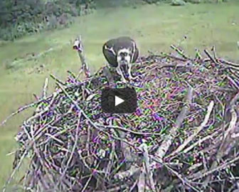 Creek Nest Raptor Cam