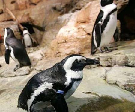 African Penguins Cam by Monterey Bay Aquarium