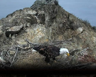 Santa Catalina Harbor Eagle Cam