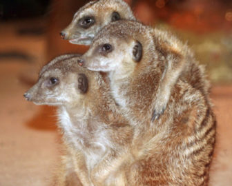 Live Meerkat Cam from Maritime Aquarium at Norwalk
