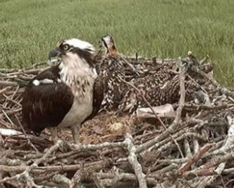 Live Osprey Cam New Haven, CT