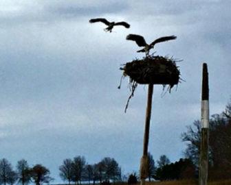 Sherwood Island State Park Osprey Cam