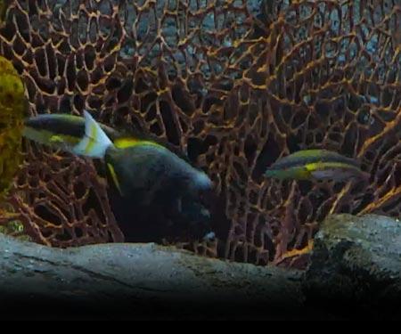 Monterey Bay Aquarium Coral Reef Cam