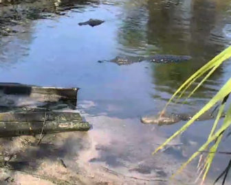 St. Augustine Alligator Farm Zoological Park Live Webcam