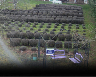 Purple Haze Lavender Farm Live Cam