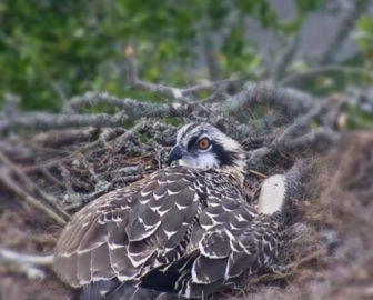 The Landing Osprey Cam, Skidaway Island, Savannah GA