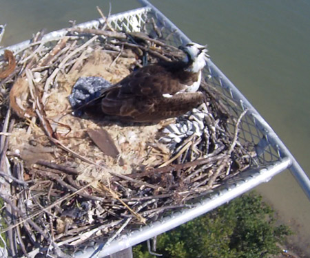 Live Osprey Cam in Fort Myers Beach