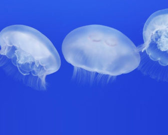 Moon Jelly Cam by Monterey Bay Aquarium