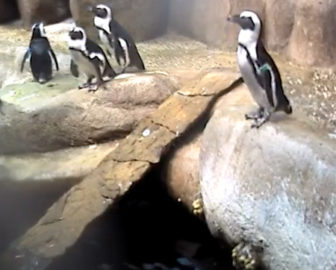 California Academy of Sciences Penguin Cam San Francisco, CA