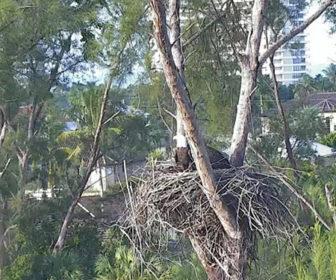 Marco Island Eagle Cam, Florida