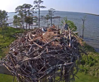 Orange Beach Live Osprey Cam, Alabam