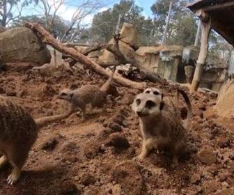 Auckland Zoo Meerkat Habitat Cam, New Zealand